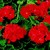 Geraniums_pelargonium_hortorum_pinto_tm_scarlet-1.small