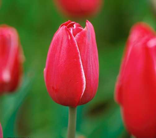 Tulips_tulipa_astarte-1.full