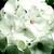 Geraniums: Pelargonium Hortorum, 'Pinto™ White'