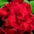 Geraniums: Pelargonium Hortorum, 'Ringo 2000™ Cardinal'