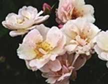 Rose, Antique Polyantha 'Marie Pavie' (1888)