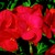 Geraniums: Pelargonium Hortorum, 'Ringo 2000™ Deep Red'