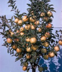 Apple Tree, Semi-dwarf 'Starkspur® Golden Delicious'