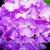 Geraniums_pelargonium_hortorum_ringo_2000_tm_lavender-1.small