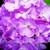 Geraniums: Pelargonium Hortorum, 'Ringo 2000™ Lavender'