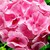 Geraniums_pelargonium_hortorum_ringo_2000_tm_light_salmon-1.small