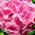 Geraniums_pelargonium_hortorum_ringo_2000_tm_light_salmon-1.small