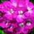 Geraniums_pelargonium_hortorum_ringo_2000_tm_pink-1.small