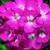 Geraniums: Pelargonium Hortorum, 'Ringo 2000™ Pink'