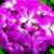 Geraniums: Pelargonium Hortorum, 'Ringo 2000™ Rose Star'