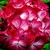Geraniums_pelargonium_hortorum_ringo_2000_tm_scarlet_star-1.small