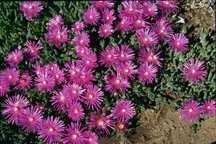 Ice Plant, Hardy Purple
