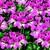 Geraniums: Pelargonium Peltatum, 'Tornado™ Bicolor Duet'