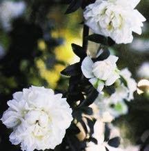 Rose, Antique (1850)