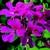 Geraniums_pelargonium_peltatum_tornado_tm_fuchsia-1.small