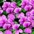 Geraniums_pelargonium_peltatum_tornado_tm_pink-1.small