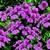 Geraniums: Pelargonium Peltatum, 'Tornado™ Rose'