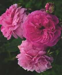 Rose, Hybrid Musk 'Lavender Lassie' (1960)