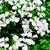 Geraniums_pelargonium_peltatum_tornado_tm_white-1.small