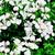 Geraniums_pelargonium_peltatum_tornado_tm_white-1.small