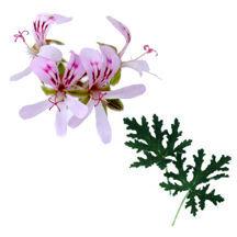 Scented Geranium, Pungent Peppermint