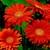Daisies_gerbera_jamesonii_jaguar_tm_deep_orange-1.small