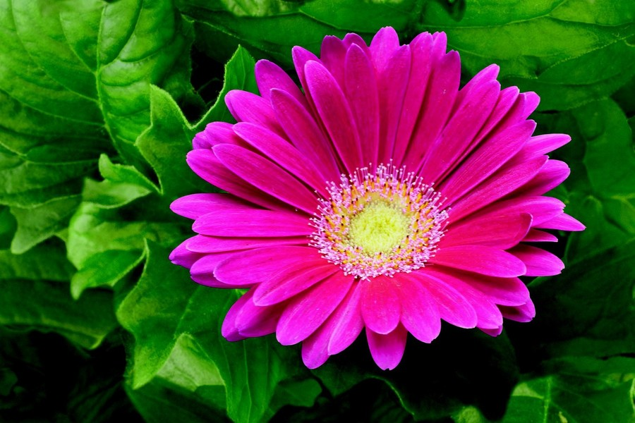 Daisies_gerbera_jamesonii_jaguar_tm_deep_rose-1.full
