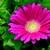 Daisies_gerbera_jamesonii_jaguar_tm_deep_rose-1.small