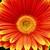 Daisies: Gerbera Jamesonii, 'Jaguar™ Orange Picotee'