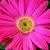 Daisies: Gerbera Jamesonii, 'Jaguar™ Pink'