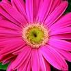 Gerbera, Jaguar™ Pink