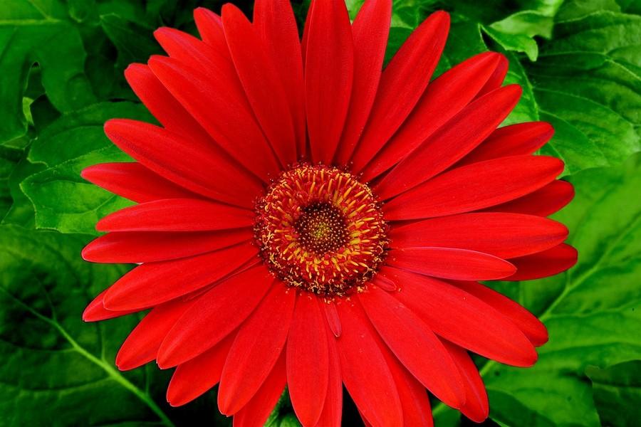 Daisies_gerbera_jamesonii_jaguar_tm_red-1.full