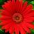 Daisies_gerbera_jamesonii_jaguar_tm_red-1.small