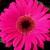 Daisies_gerbera_jamesonii_jaguar_tm_rose_dark_center-1.small