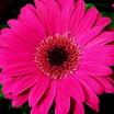 Gerbera, Jaguar™ Rose Dark Center