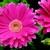 Daisies_gerbera_jamesonii_jaguar_tm_rose_picotee-1.small