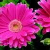 Daisies_gerbera_jamesonii_jaguar_tm_rose_picotee-1.thumb