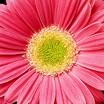 Daisies_gerbera_jamesonii_jaguar_tm_salmon_pastels-1.thumb