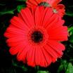 Daisies_gerbera_jamesonii_jaguar_tm_scarlet_shade_dark_center-2.thumb