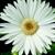 Daisies_gerbera_jamesonii_jaguar_tm_white-1.small