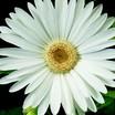 Daisies_gerbera_jamesonii_jaguar_tm_white-1.thumb