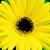 Daisies_gerbera_jamesonii_jaguar_tm_yellow_dark_center-1.small