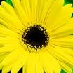 Daisies_gerbera_jamesonii_jaguar_tm_yellow_dark_center-1.thumb