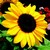 Sunflowers: Helianthus Annuus, 'Constellation™'