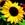 Sunflowers: Helianthus Annuus, 'Constellation™'
