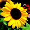 Sunflower, Constellation™