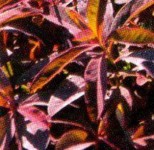 Spurge, 'Chameleon'