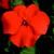 Impatiens: Impatiens Walleriana, 'Blitz 3000™ Deep Orange'