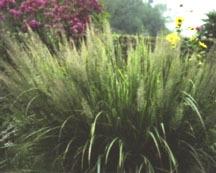 Grass, Foxtail