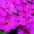Impatiens: Impatiens Walleriana, 'Blitz 3000™ Deep Pink'